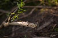 Sur les traces du castor
